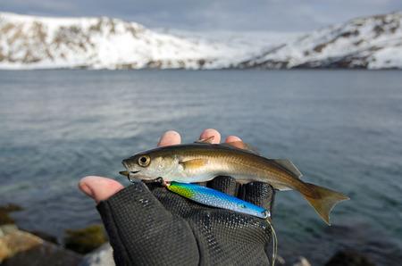 coalfish: Small coalfish in angler hand Stock Photo