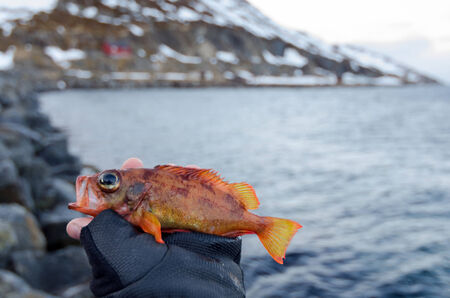 norvegicus: Red perch in angler hand Stock Photo