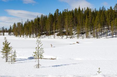 rein: Rein deers on winter forest glade