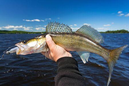 walleye: Walleye fishing trophy Stock Photo