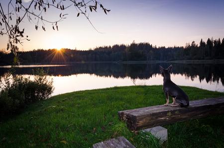 pincher: Romantic pincher dog