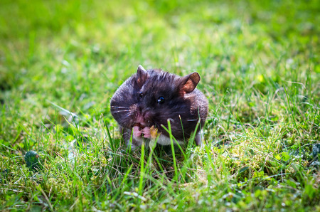 Hamster on grass field Stock Photo