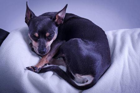 pincher: Pincher dog sleeping on sofa