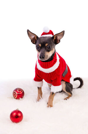 pincher: Christmas composition with pincher dog