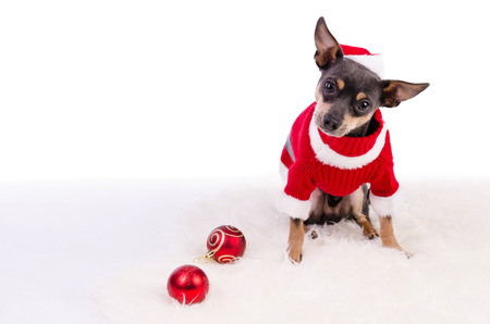 pincher: Christmas pincher dog sitting on white rug