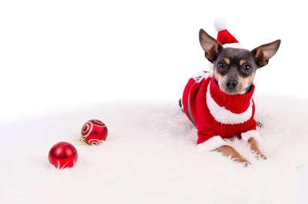 pincher: Christmas pincher dog laying on white rug Stock Photo