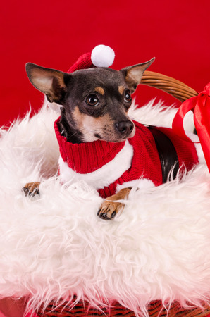 pincher: Pincher dog in Christmas composition