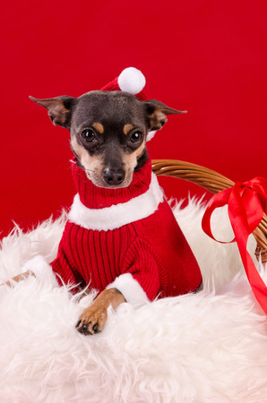 pincher: Pincher dog in christmas colors