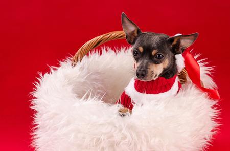 pincher: Pincher dog in Christmas basket