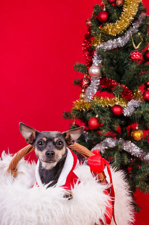 pincher: Pincher dog under Christmas tree