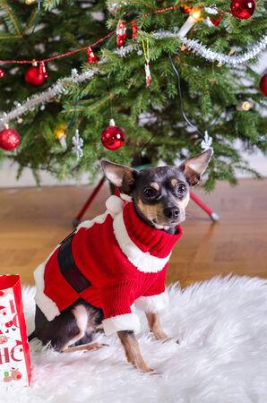 pincher: Pincher dog like a Xmas present