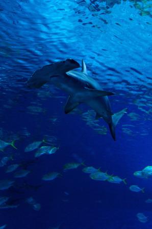 Hammerhead shark between the fish steam