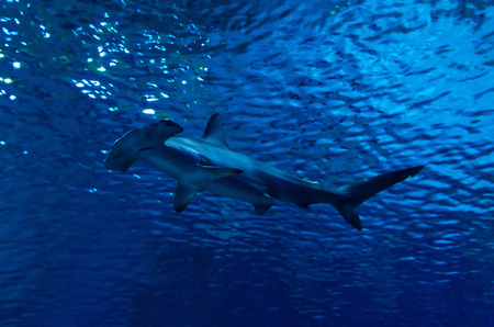 Silhouette of hammerhead shark in the water Stock Photo