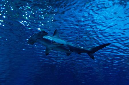 pez martillo: Silueta de tiburón martillo en el agua