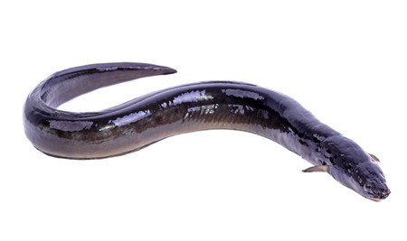 Eel fish isolated on white background 스톡 콘텐츠
