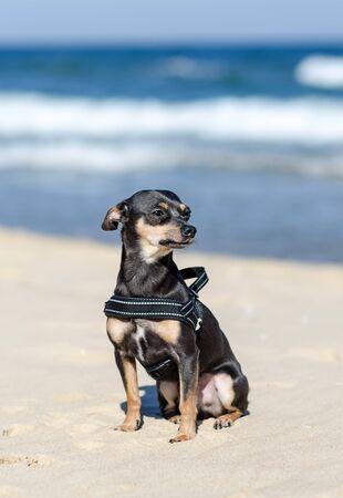 pincher: Beach sunny portrait of pincher dog