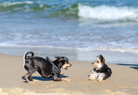 Small dogs playing on the beach photo