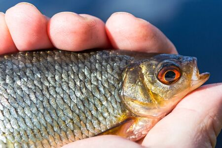 rudd: Closeup for rudd fish in angler hand Stock Photo