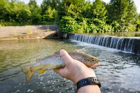 brown trout: Brown trout in anglers hand