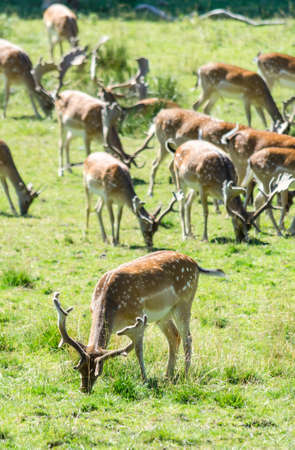 herd of deer: Closeup for fallow deer herd