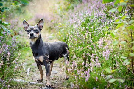 pincher: Pincher dog in forest