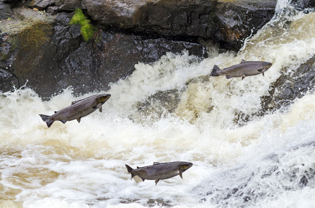 waterfalls: Jumping sea trouts