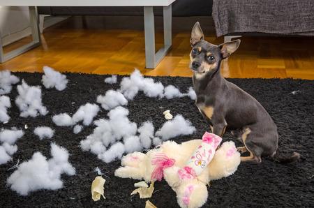 angry dog: Habitación desordenada después de jugar del perro pincher Foto de archivo