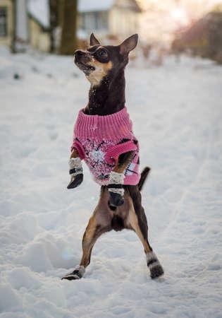 pincher: Fashionable pincher dog in winter season