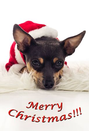 pincher: Cute Xmas Pincher dog with text