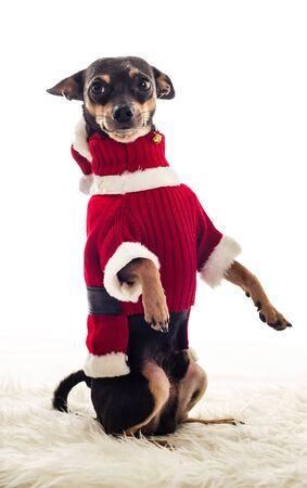pincher: Standing Pincher dog in Santa Claus costume