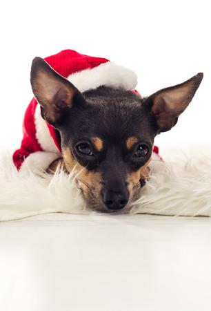 pincher: Cute Xmas Pincher dog