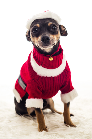 pincher: Adorable Christmas dressed Pincher dog