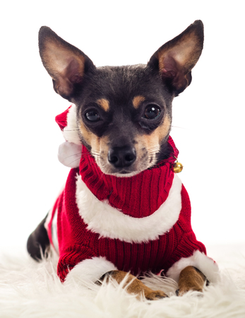 pincher: Isolated portrait of laying Xmas dressed Pincher Stock Photo