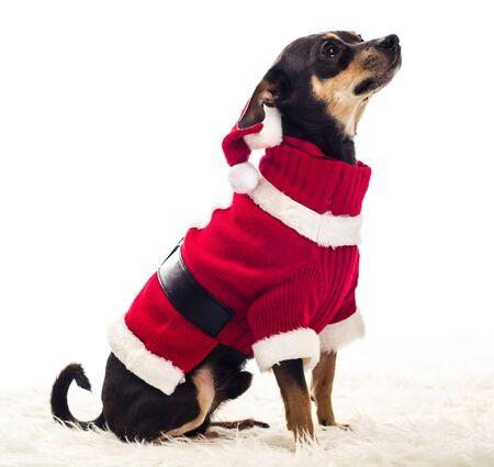 pincher: Side portrait of Santa Pincher dog