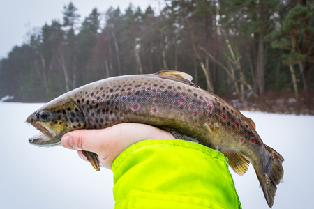Winter brown trout in anglers hand