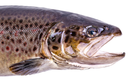 brown trout: Portrait of brown trout fish isolated on white background