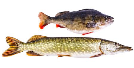predators: Perch and pike - two typical freshwater predators