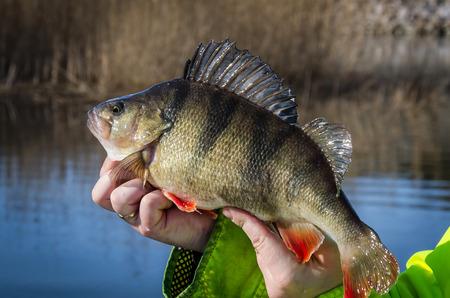 perch: Fresh caught big perch Stock Photo