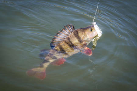 hooked: Hooked big perch on water surface Stock Photo