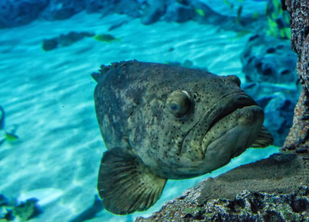 lanceolatus: Grouper fish on the reef Stock Photo
