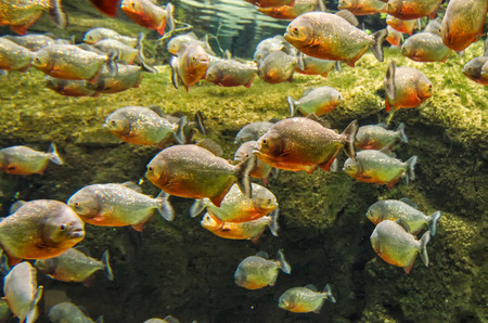 freshwater aquarium plants: Group of amazon piranhas
