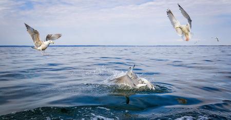 rivals: Three seagull birds rivals Stock Photo