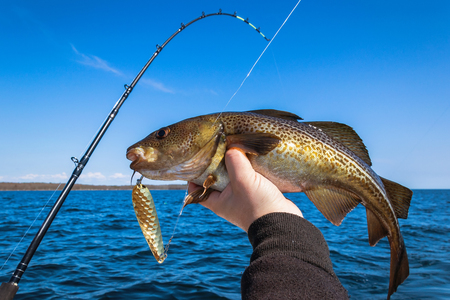 sportfishing: Cod fish for trolling