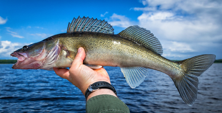 Walleye fishing trophy in panoramic view