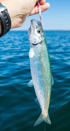 angler: Angler holding fresh caught herring