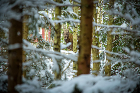 sweden winter: Moose female in the winter forest Stock Photo