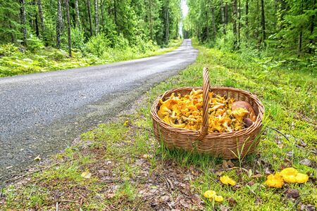 Chantarelle summer season in Sweden