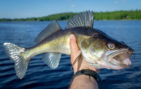 Hermosa lucioperca en mano de pescador Foto de archivo
