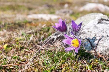 Beautiful pasque-flowers on the sea coast 版權商用圖片