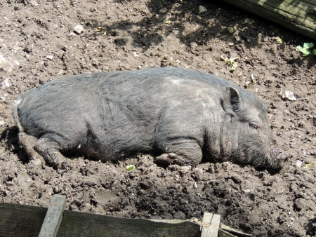 pot bellied: A young vietnamese pot-bellied pig, which takes a break